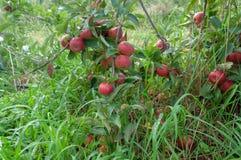Pommes mûres rouges de gala sur un arbre image libre de droits