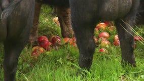 Pommes mûres rouges mangées par des porcs banque de vidéos