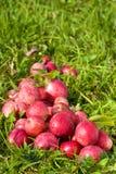 Pommes mûres rouges sur l'herbe verte Photo stock