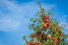 Pommes mûres rouges sur la branche, fond de ciel bleu Pommes fraîches de Fuji Photo stock