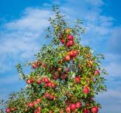 Pommes mûres rouges sur la branche, fond de ciel bleu Pommes fraîches de Fuji Image stock