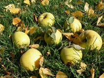 Pommes mûres sur l'herbe Photographie stock libre de droits