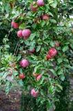 Pommes mûres sur les branches Photos libres de droits