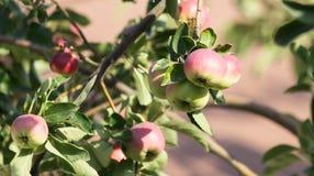Pommes mûres sur un arbre Photo libre de droits