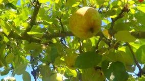Pommes mûres sur un arbre clips vidéos