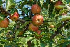 Pommes mûres sur un branchement Image libre de droits