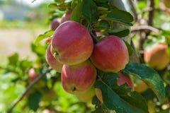 Pommes mûres sur un branchement Images libres de droits
