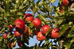 Pommes mûres sur un branchement d'arbre images libres de droits