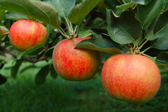 Pommes mûries par arbre photos libres de droits