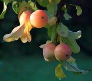 Pommes mûres à la lumière du soleil Photo libre de droits