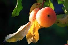 Pommes mûres à la lumière du soleil Image libre de droits