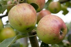 Pommes mûres accrochant sur une branche Photos libres de droits