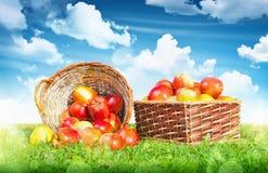 Pommes mûres dans un panier Photos stock