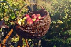 Pommes mûres dans un panier en bois wattled Photo stock