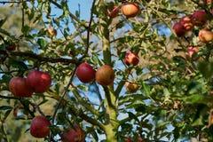 Pommes mûres et belles sur les branches des pommiers Images libres de droits