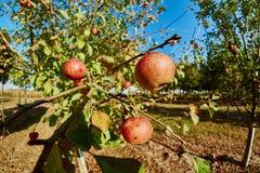Pommes mûres et belles sur les branches des pommiers Photographie stock libre de droits