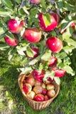 Pommes mûres rouges Images stock