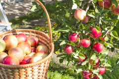 Pommes mûres rouges Photographie stock libre de droits
