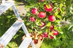 Pommes mûres rouges Photographie stock