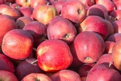 Pommes mûres sélectionnées photographie stock