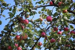 Pommes mûres sur l'arbre photographie stock