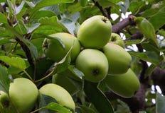 Pommes mûres sur le pommier en été Image libre de droits