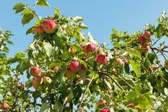 Pommes mûres sur un arbre Images libres de droits