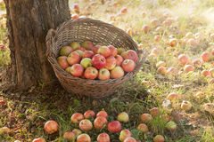 Pommes organiques Image stock