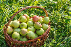 Pommes organiques d'Orchard photographie stock