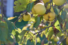 Pommes organiques dans la caisse Images stock