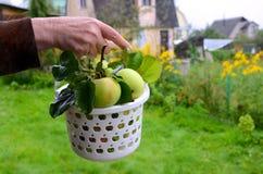 Pommes organiques dans la caisse Images libres de droits
