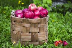 Pommes organiques dans le panier dans l'herbe d'été Images libres de droits