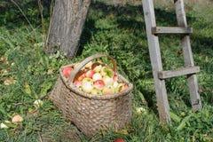 Pommes organiques dans le panier dans l'herbe d'été Pommes fraîches en nature Image libre de droits