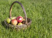 Pommes organiques dans le panier dans l'herbe d'été, sur le fond de l'herbe verte Photos stock