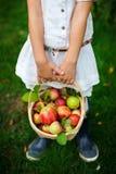 Pommes organiques dans un panier Photographie stock
