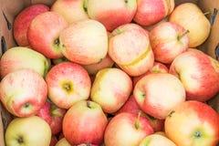 Pommes organiques endommagées par le gel de gala Photo libre de droits