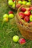 Pommes organiques saines dans le panier. Photos stock