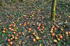 Pommes organiques sous un pommier photo stock