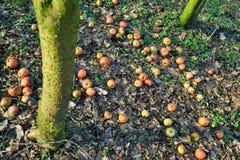 Pommes organiques sous un pommier photographie stock