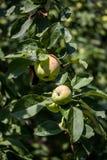 Pommes organiques vertes sur l'arbre image stock