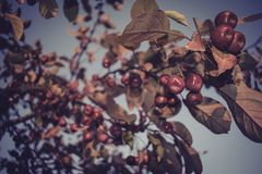 pommes peu rouge Photos stock