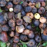 Pommes putréfiées comme texture Images libres de droits