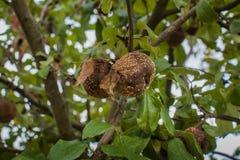 Pommes putréfiées sur un arbre photographie stock libre de droits