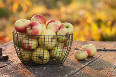 Pommes récemment récoltées Image stock