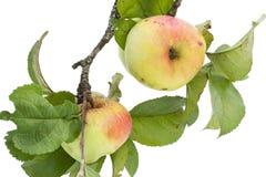 Pommes réelles sur un branchement avec des lames Images stock