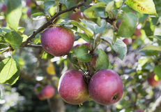 Pommes réelles sur un branchement avec des lames Photographie stock libre de droits