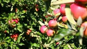 Pommes rouges dans des pommiers banque de vidéos