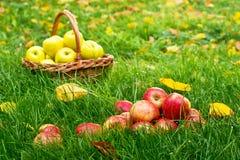 Pommes rouges dans l'herbe Image libre de droits