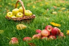 Pommes rouges dans l'herbe Images stock