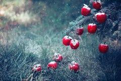 Pommes rouges dans la fin de neige  Photo libre de droits